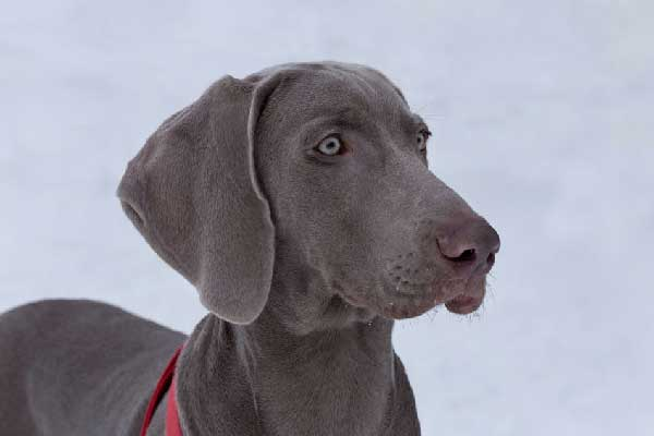 All Weimaraner Eye Problems You Need to Know