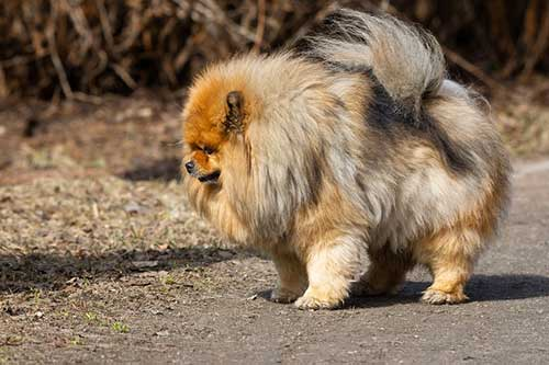 Are Chow Chows aggressive?