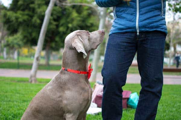 How to Discipline a Weimaraner?