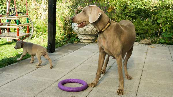 Exercise Ideas for your Weimaraner