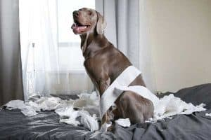 Can Weimaraners Live in Apartments?