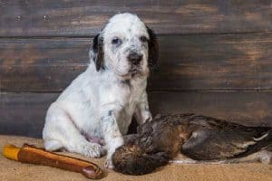 How to Feed an English Setter Puppy?