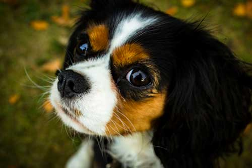 Are Cavalier King Charles Spaniels Smart?