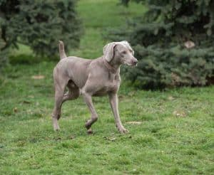Weimaraner Guard Dog Training Guide