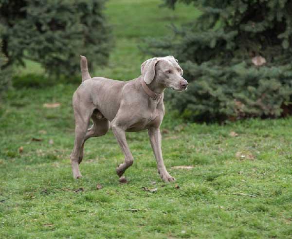 Weimaraner Guard Dog Training Guide