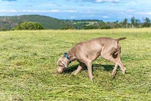 Weimaraner Agility Training Guide