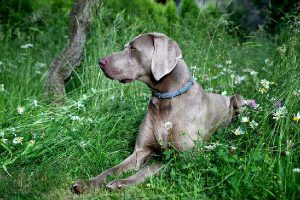 Weimaraner Crate Training Guide