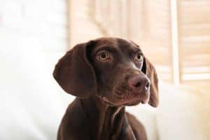 Do German Shorthaired Pointers Ever Calm Down?