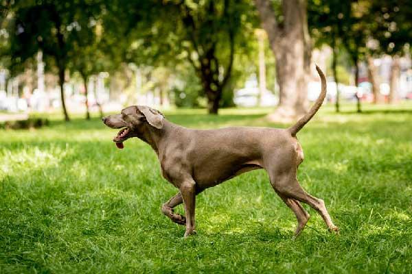Weimaraner Gun Dog Training Guide