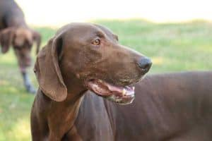 Why Do German Shorthaired Pointers Shake?