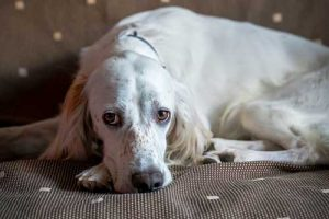 How Much Sleep Does an English Setter Need?