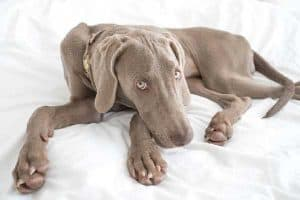 Weimaraner Separation Anxiety Training