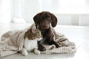 Will a German Shorthaired Pointer Kill a Cat?