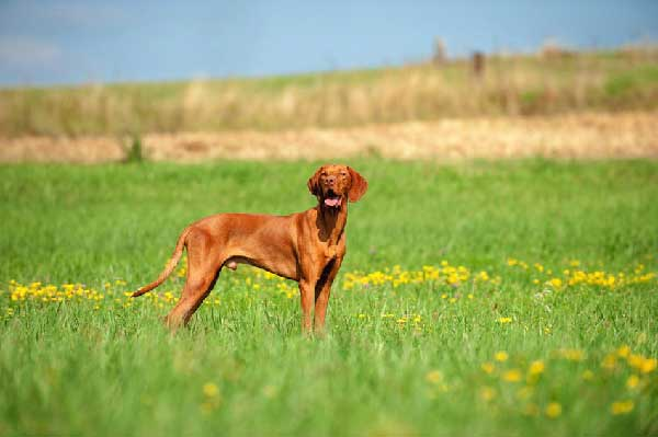 When to Breed a Vizsla?