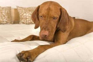 Why is Your Vizsla Growling?