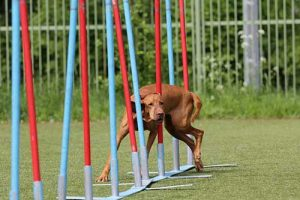 Do Vizslas Need a Lot of Exercise?