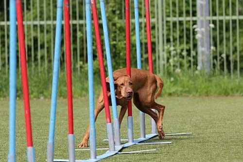 Do Vizslas Need a Lot of Exercise?