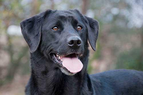 Is a Labrador a Good Dog?