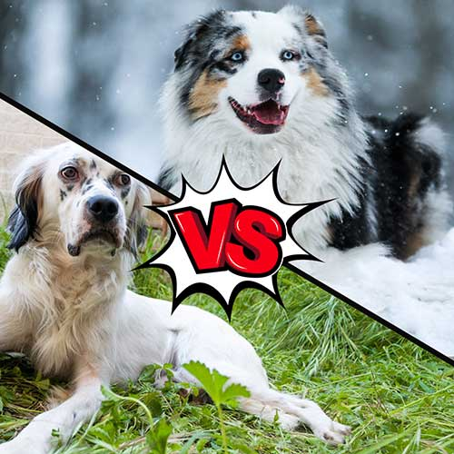 English Setter vs Australian Shepherd