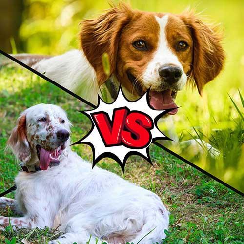 English Setter vs Brittany