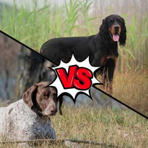 Gordon Setter vs German Shorthaired Pointer