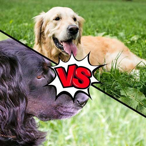 Gordon Setter vs Golden Retriever