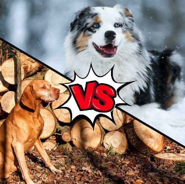 Vizsla vs Australian Shepherd