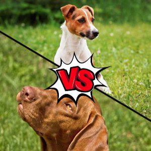 Vizsla vs Basenji