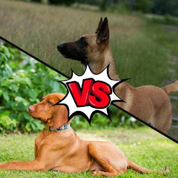 Vizsla vs Belgian Malinois