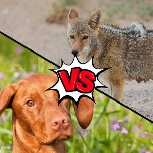 Vizsla vs Coyote