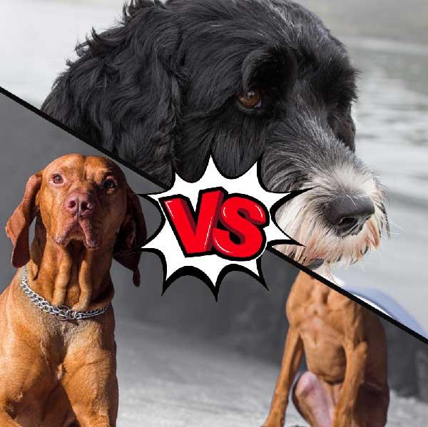 Vizsla vs Portuguese Water Dog
