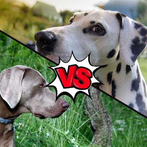 Weimaraner vs Dalmatian