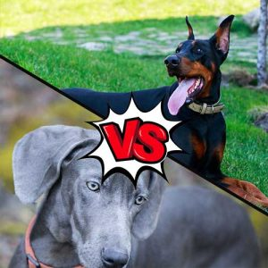 Weimaraner vs Doberman